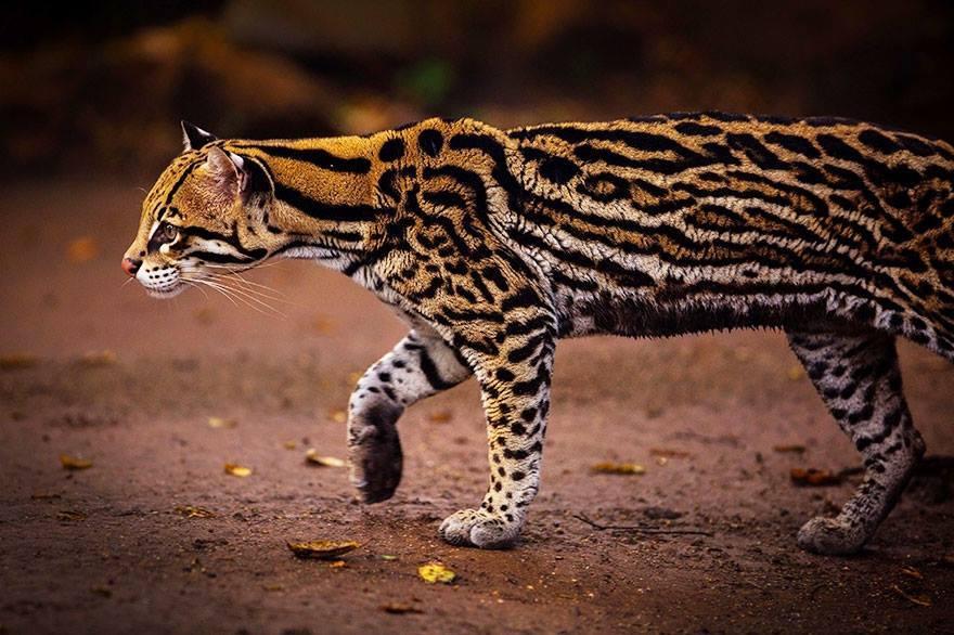 leopardus-pardalis