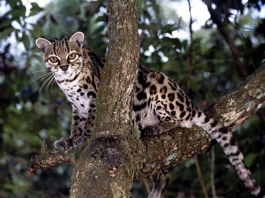leopardus-wiedii