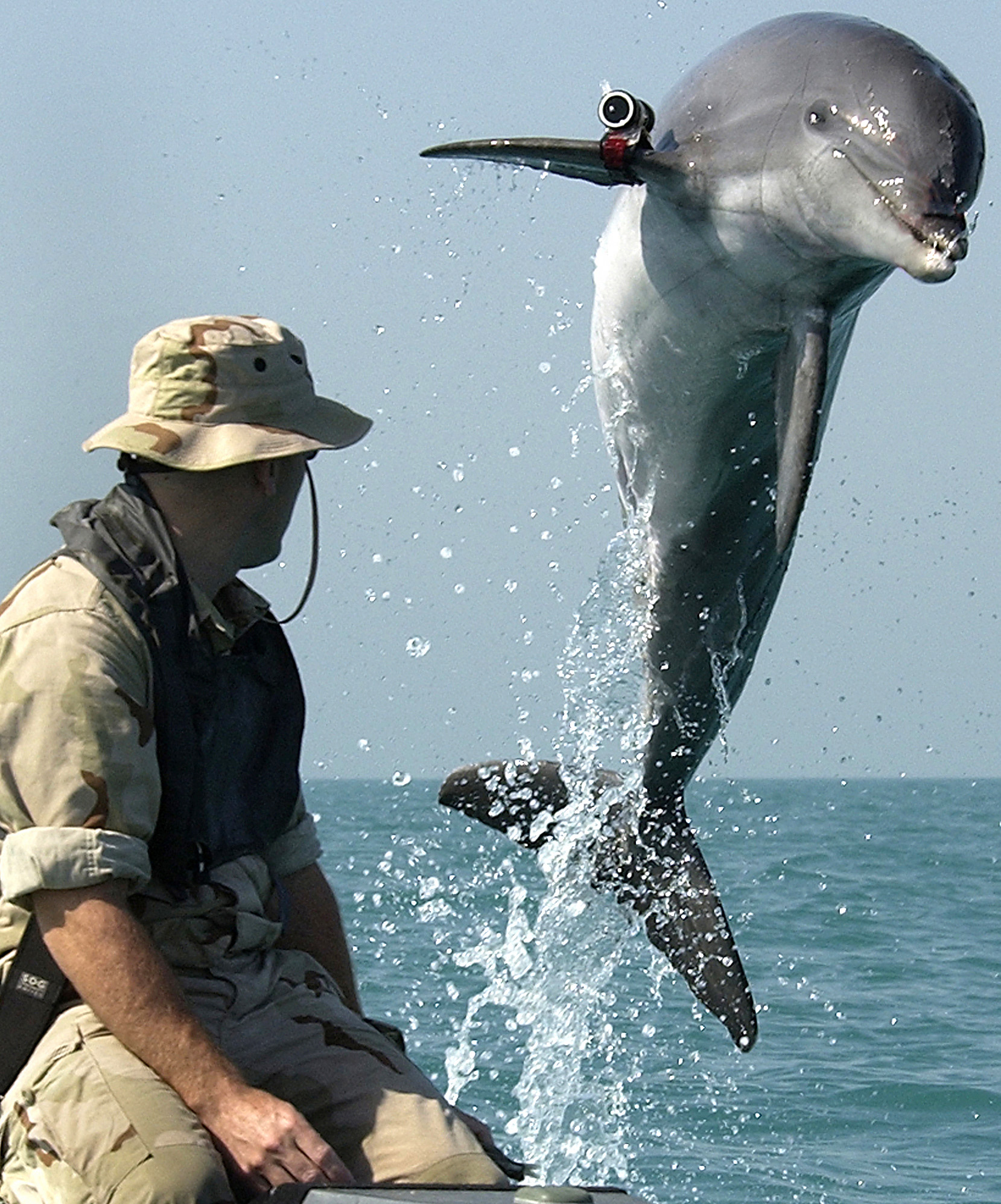 030318-N-5319A-002 Central Command Area of Responsibility (Mar. 18, 2003) -- K-Dog, a Bottle Nose Dolphin belonging to Commander Task Unit (CTU) 55.4.3, leaps out of the water in front Sgt. Andrew Garrett while training near the USS Gunston Hall (LSD 44) in the Arabian Gulf. Attached to the dolphinÕs pectoral fin is a ÒpingerÓ device that allows the handler to keep track of the dolphin when out of sight. CTU-55.4.3 is a multi-national team consisting of Naval Special Clearance Team-One, Fleet Diving Unit Three from the United Kingdom, Clearance Dive Team from Australia, and Explosive Ordnance Disposal Mobile Units Six and Eight (EODMU-6 and -8).  These units are conducting deep/shallow water mine countermeasure operations to clear shipping lanes for humanitarian relief.  CTU-55.4.3 and USS Gunston Hall are currently forward deployed conducting missions in support of Operation Iraqi Freedom, the multinational coalition effort to liberate the Iraqi people, eliminate Iraq's weapons of mass destruction, and end the regime of Saddam Hussein.  U.S. Navy photo by PhotographerÕs Mate 1st Class Brien Aho.  (RELEASED)