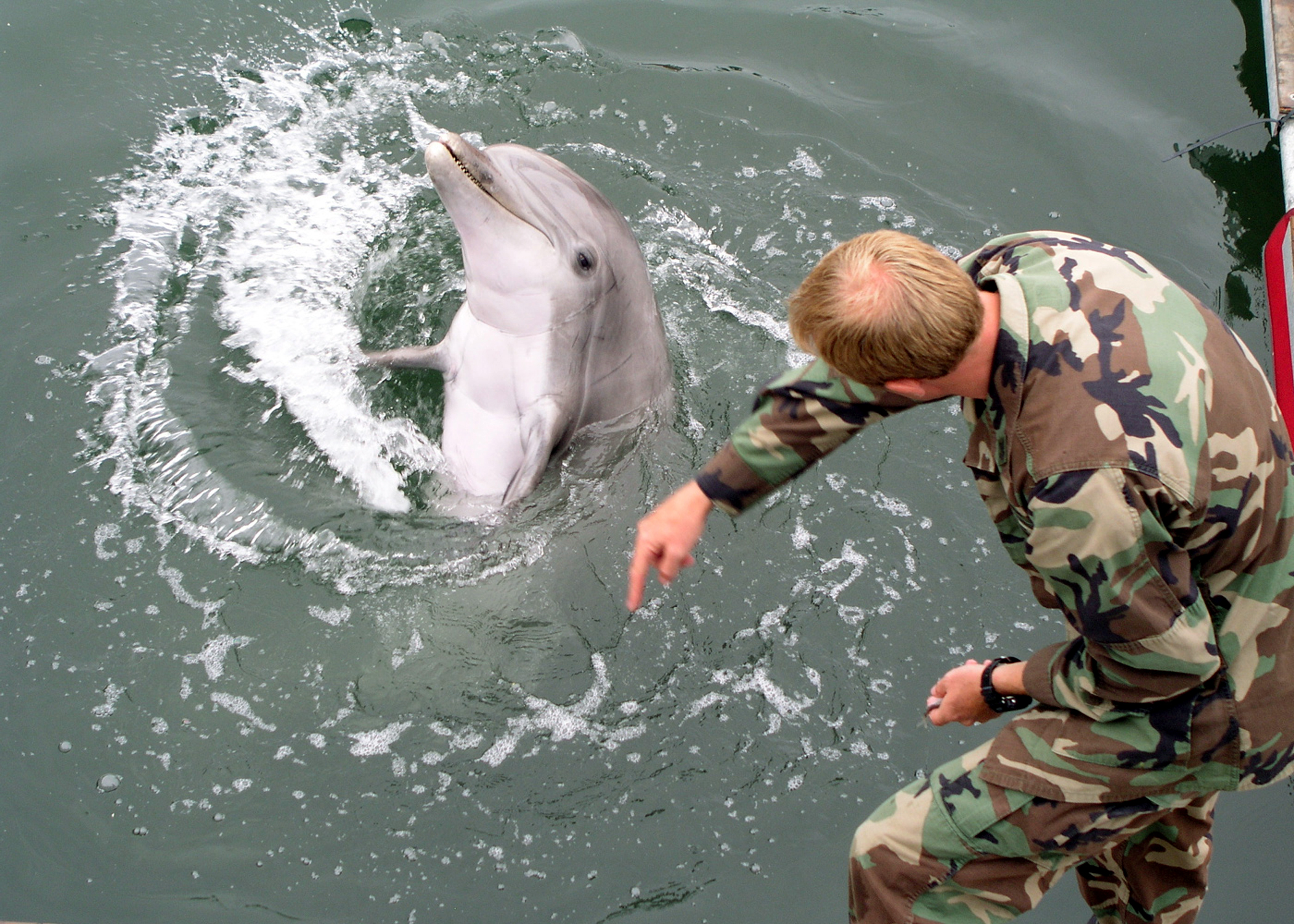 050524-N-2327-G-002 San Pedro, Calif. (May 24, 2005) - Navy marine mammal handler Electronic Technician 2nd Class Eric Kenas shows how a trained dolphin reacts to different hand gestures, during Lead Shield III/Roguex V, an exercise to test port facility anti-terrorism readiness. The Coast Guard and Navy conducted the two exercises around the ports of Los Angeles and Long Beach. The combined exercise involved 24 local, state and federal agencies in an effort to disrupt a simulated terrorist attack, respond to the consequences and maintain port operations. U.S. Navy Photo by Illustrator Draftsman 1st Class Pierre G. Georges (RELEASED)