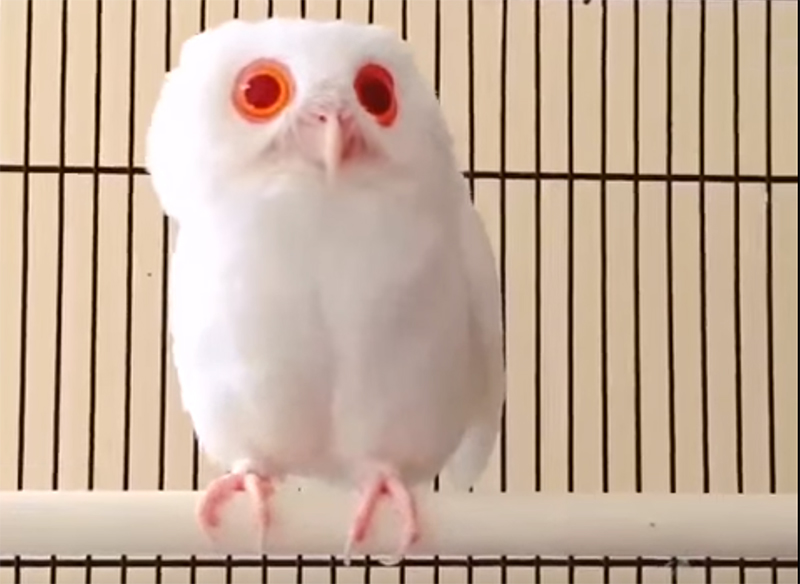 owl-red-eyes
